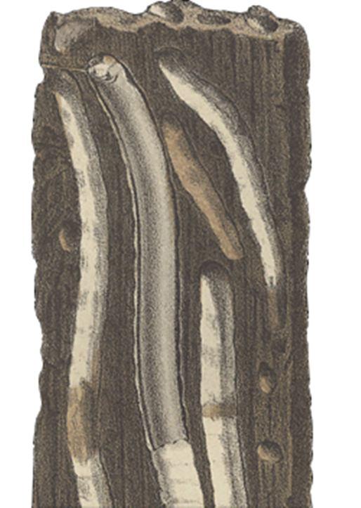 Paalworm