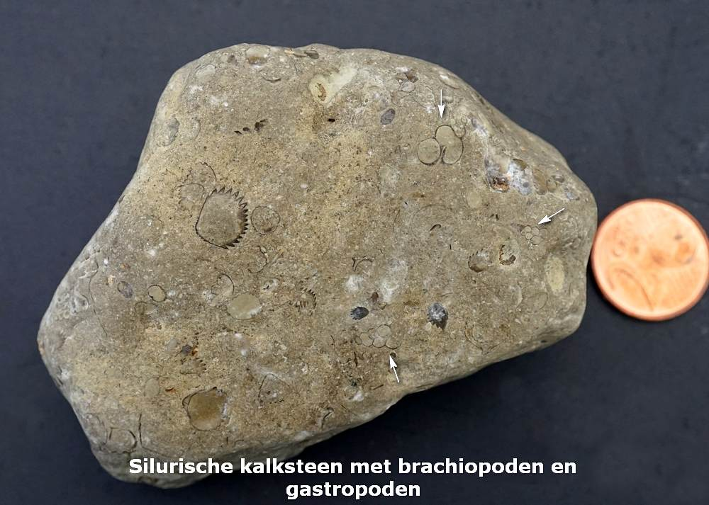 005. Sil. kalksteen met Camarotoechia - Emmen