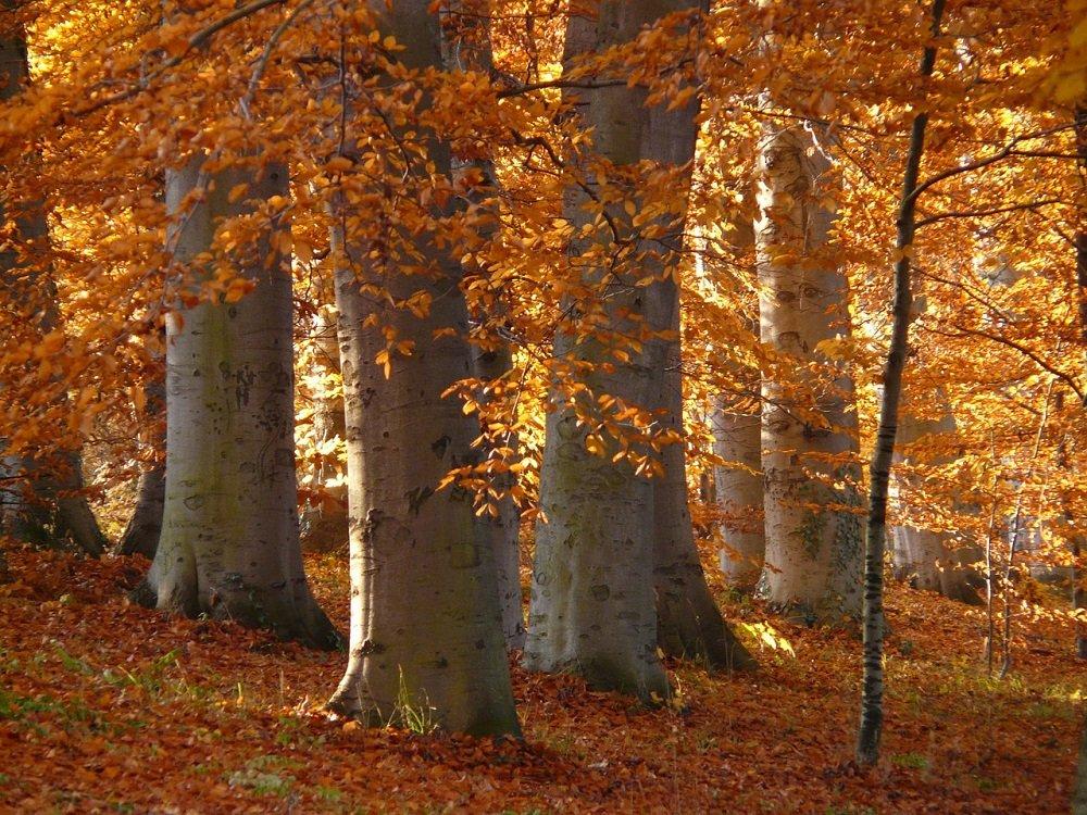 beuk in de herfst