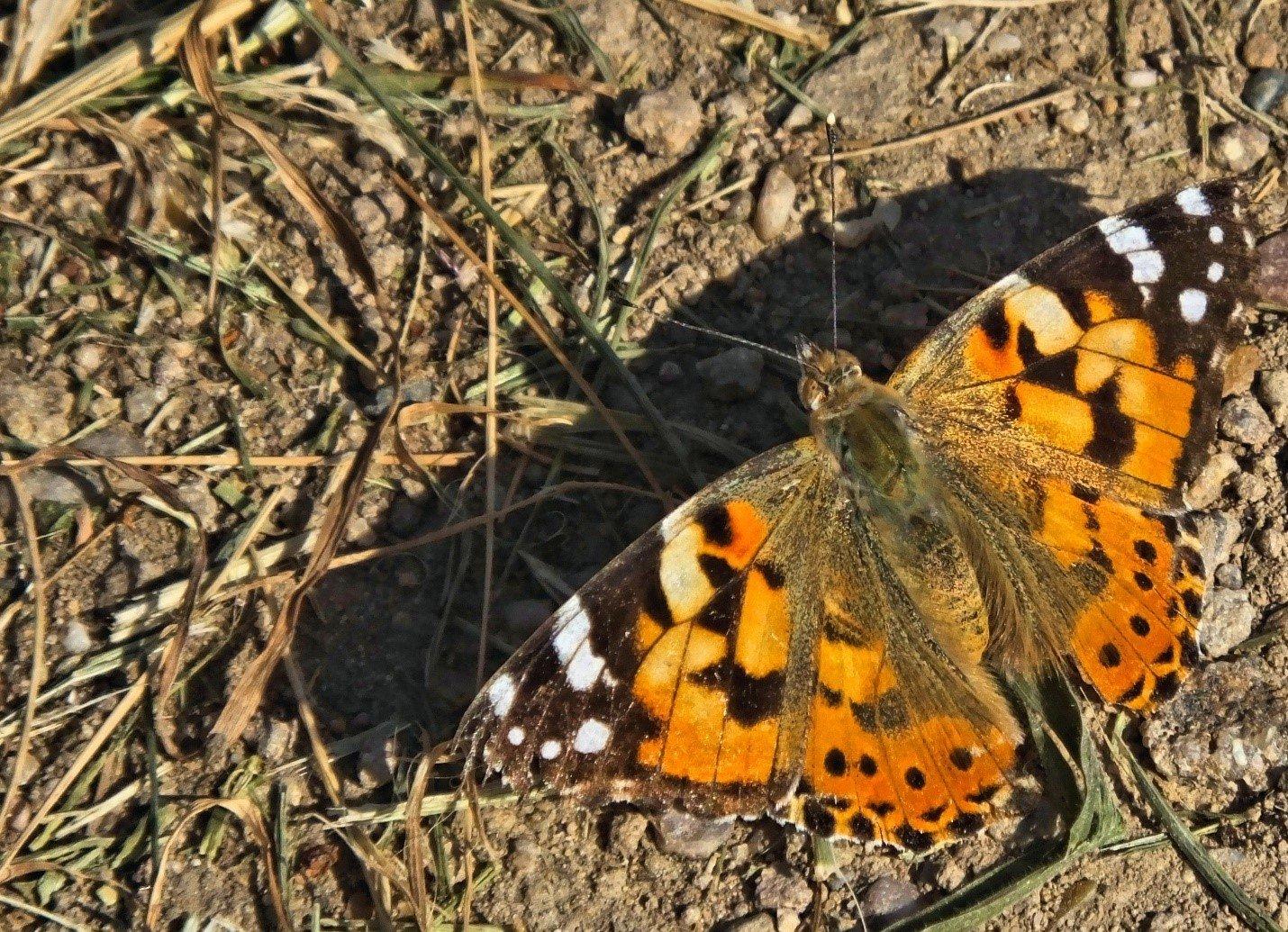 vlinders1