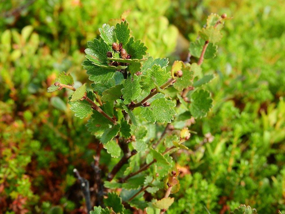 Dwergberk of Betula nana.