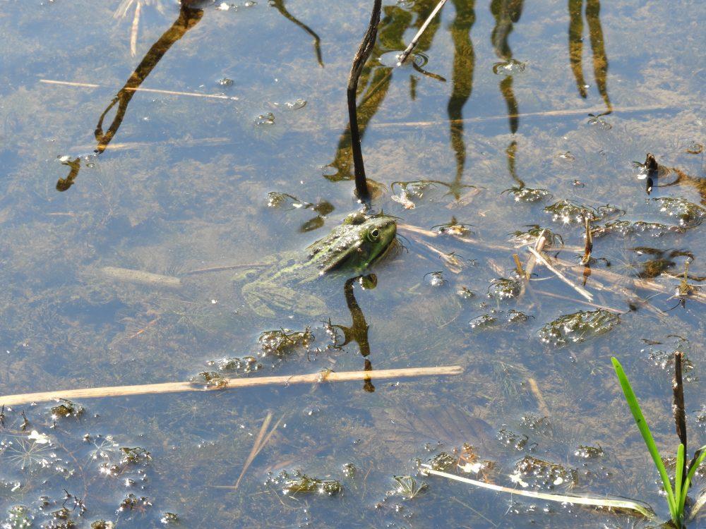 Groene kikker bij het Hunebedcentrum