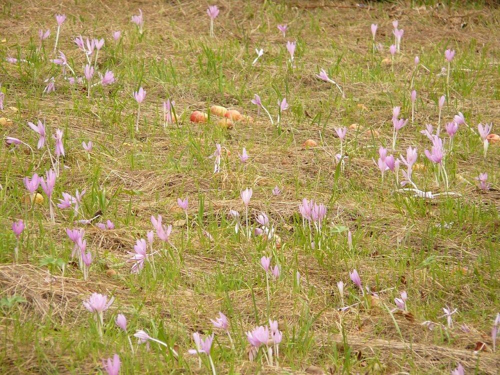 De herfsttijloos (Colchicum autumnale)