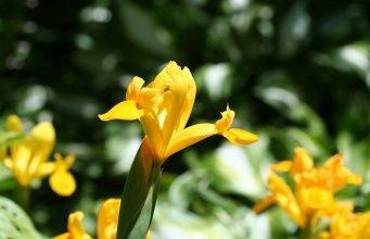 Gele lis.
