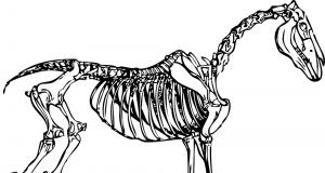 Skelet paard.