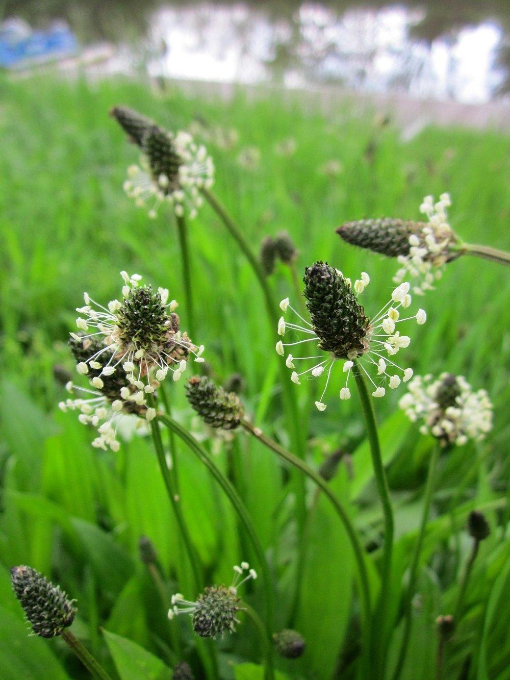 5ea689b44d9 De smalle weegbree heeft smalle rozetbladeren met parallellopende nerven.  Ook dit is een overblijvende plant die in de herfst afsterft en in het  voorjaar ...